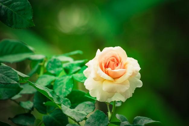 O close up da rosa bonita do rosa floresce a florescência no jardim opinião natural a flor com natural. Foto Premium