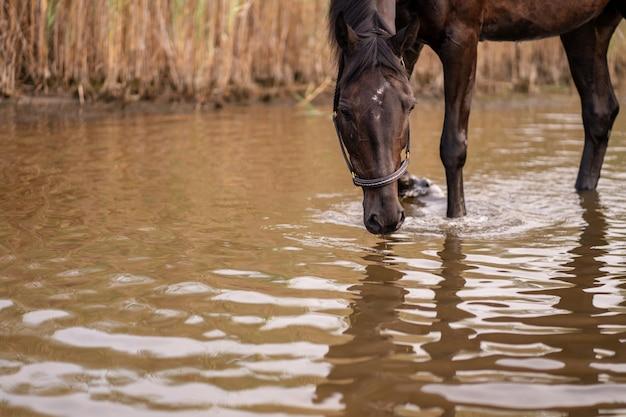 O close-up de um cavalo escuro bebe a água de um lago. passeio a cavalo Foto Premium
