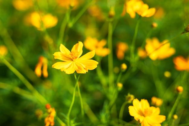 O cosmos amarelo do enxofre floresce no jardim da natureza. Foto Premium