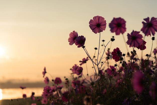 O cosmos flor de pastagem no parque Foto Premium