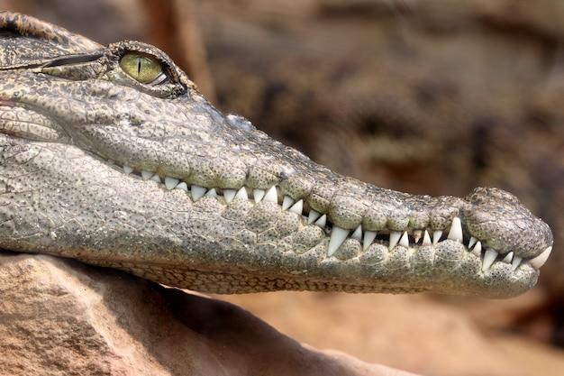 O crocodilo hesd disparou, dentes. Foto Premium