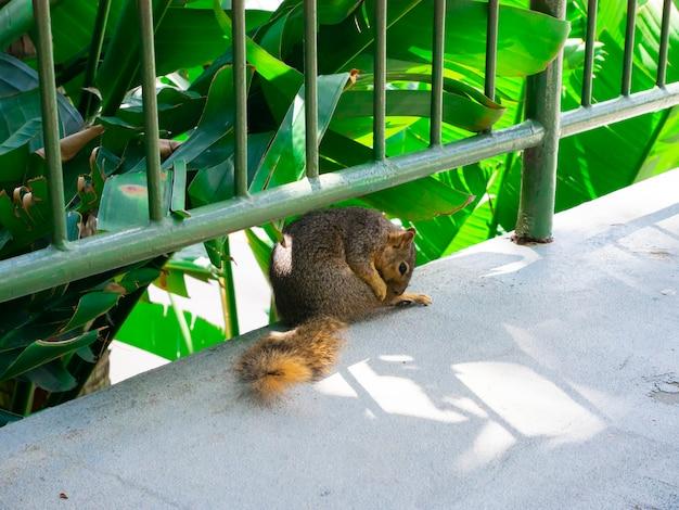 O esquilo bonito lava no parque. Foto Premium
