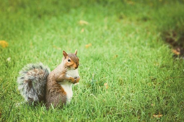 O esquilo está caminhando na grama verde do central park Foto Premium