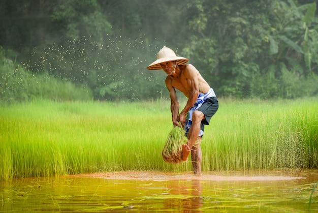 O fazendeiro do homem tailandês bateu o arroz que guarda na mão na agricultura do campo do arroz para plantar a terra Foto Premium
