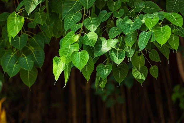 O fundo verde da folha de pho da folha (folha da bo) na árvore da bo da floresta é uma folha que representa o budismo em tailândia. Foto Premium