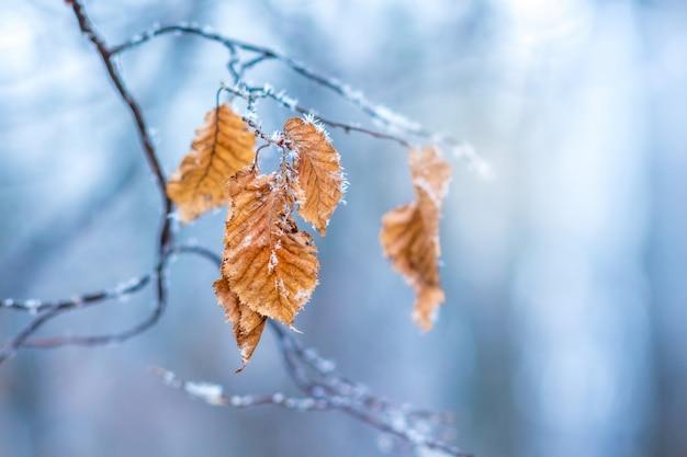 O galho de uma árvore com folhas, cobertas de geada, sobre um fundo azul em um dia claro de inverno gelado Foto Premium