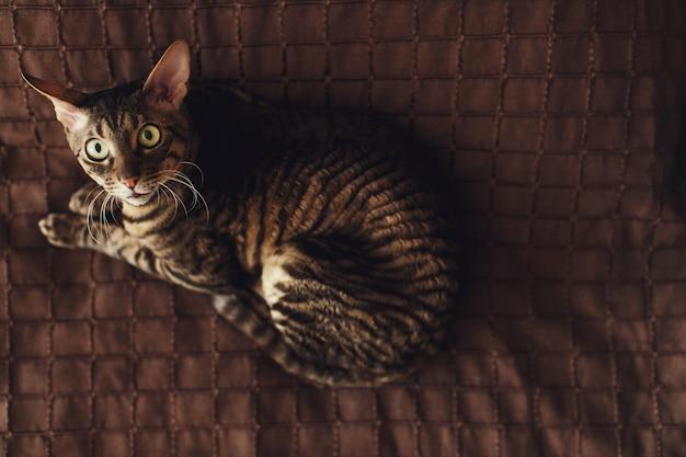 O gato assustado despojado encontra-se em um tapete marrom Foto gratuita
