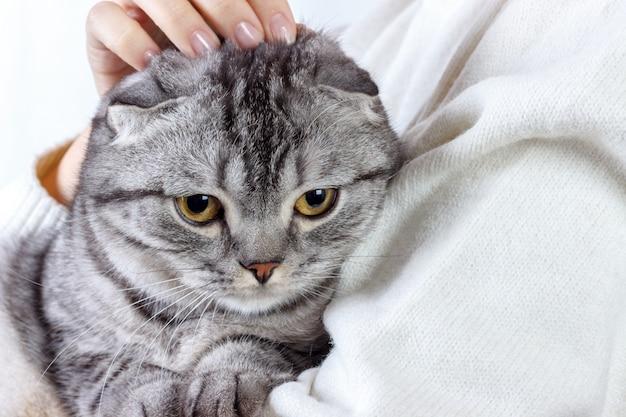O gato bonito do gengibre dorme aquecendo-se na camisola de malha nas mãos do seu dono. gatinho escocês Foto Premium