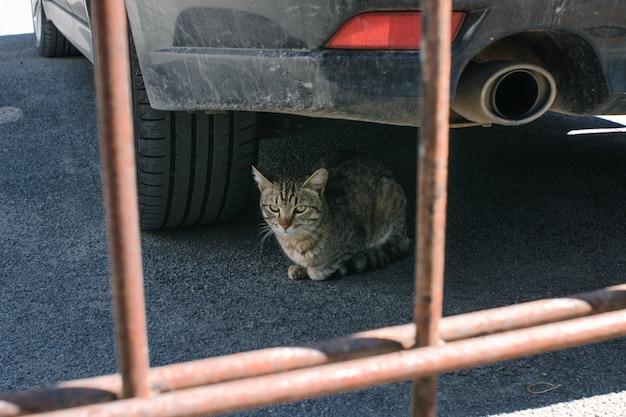 O gato bonito encontra-se sob o carro ao lado do silenciador. Foto Premium
