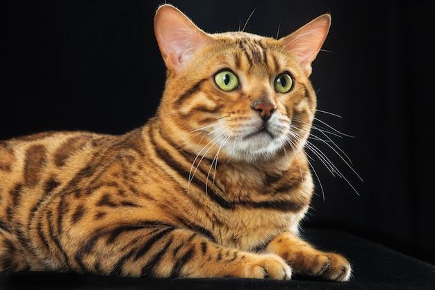 O gato de bengala dourado Foto gratuita