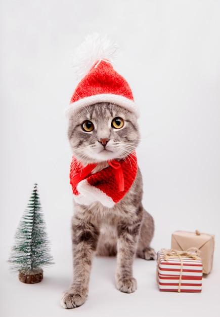 O gato de gato malhado cinzento veste o chapéu de santa e cercado com presentes no fundo branco. Foto Premium