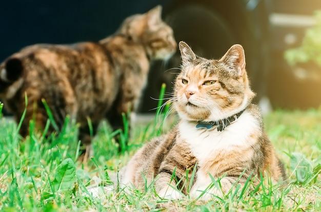 O gato gordo está em um prado, no fundo mais um gato. Foto Premium