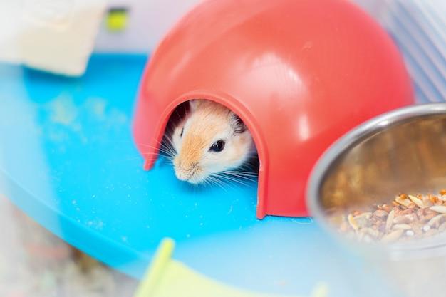 O gerbil vermelho do rato doméstico senta-se na gaiola em um alojamento plástico vermelho Foto Premium