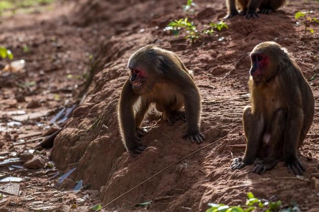 O grupo de macaque de cauda de coto, macaco (macaca arctoides) come e descansa durante uma noite ensolarada e tranquila na província de phetchaburi, área de caça de khao kapook khao tormoor, tailândia Foto Premium
