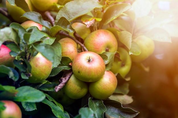 O grupo do close-up de maçãs verdes bonitas com gotas do orvalho que penduram amadurecendo no ramo de árvore da maçã com folhas verdes iluminou-se pelo sol brilhante do verão no azul borrado do bokeh. conceito de agricultura. Foto Premium