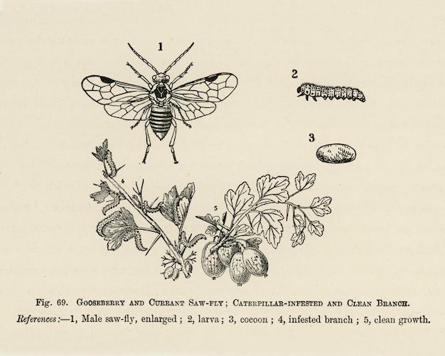 O guia do cultivador de frutas: ilustração vintage de branoh infestado de lagarta, limpo, groselha Foto gratuita