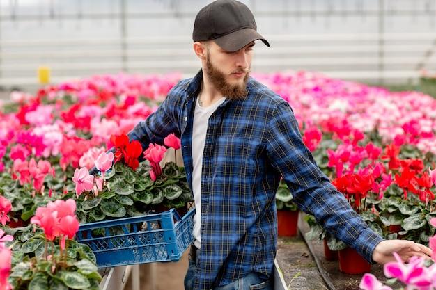 O homem novo no tampão na estufa escolhe a planta do cíclame para o florista. flora e jardinagem. trabalhando com flores e plantas Foto Premium