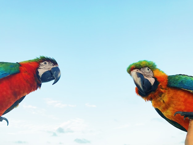 O homem segura dois papagaios coloridos de macaw no braço Foto gratuita