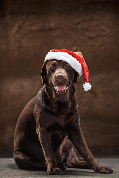 O labrador retriever marrom sentado com presentes no chapéu de natal papai noel Foto gratuita