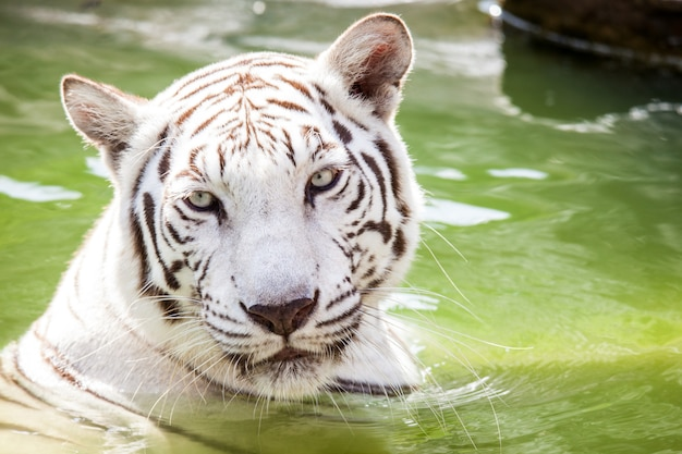 O leão exibido no zoológico Foto Premium