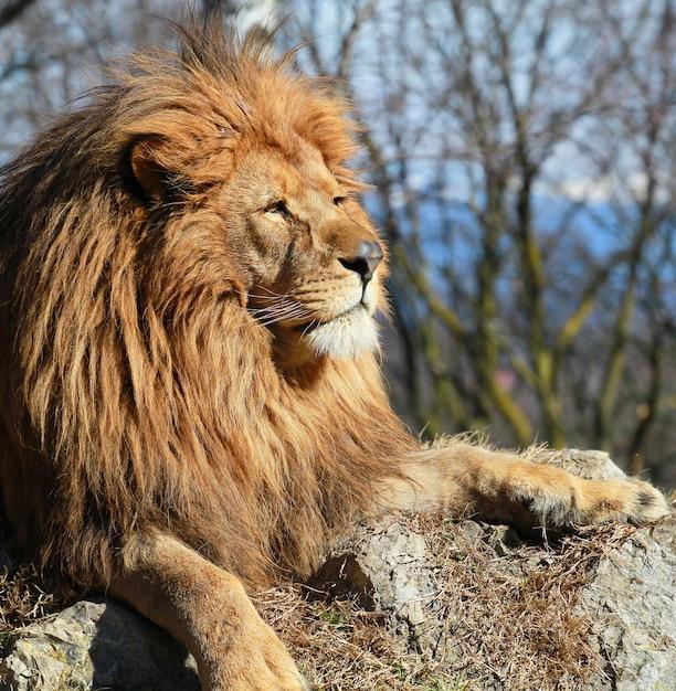 O leão no safari do jardim zoológico Foto Premium