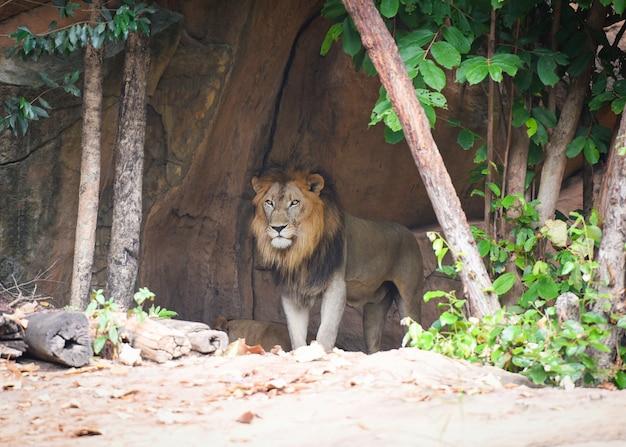 O leão no zoológico Foto Premium