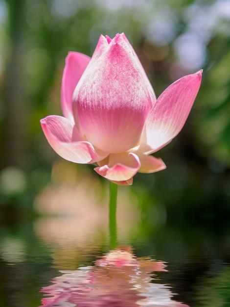 O lótus rosa que está acima da água na lagoa Foto Premium