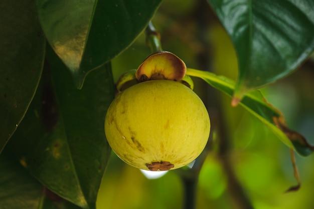 O mangostão na árvore é uma fruta tailandesa local. o sabor é doce, azedo e tem um sabor suave. Foto Premium