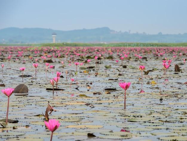 O mar de lótus vermelho ou nenúfar em talay-noi wetland, tailândia Foto Premium