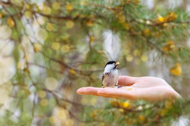 O melharuco pequeno do pântano de pássaro come o alimento da mão. Foto Premium