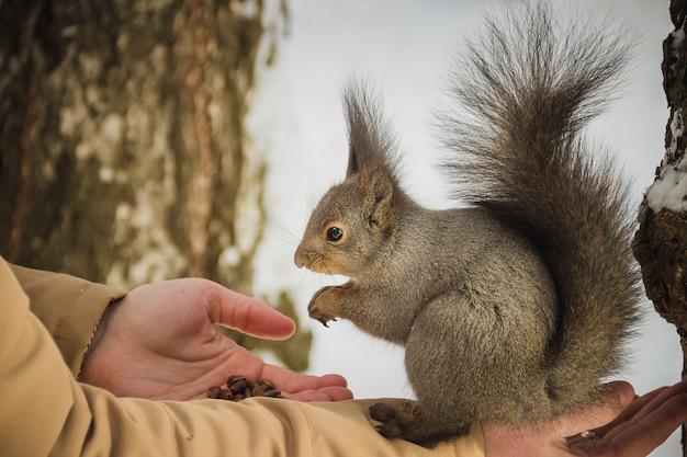 O menino alimenta um esquilo por nozes Foto Premium
