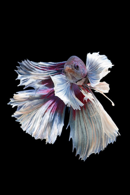 O momento em movimento bonito de peixe betta na parede preta Foto Premium