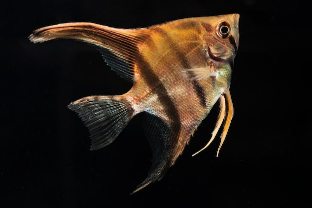 O momento em movimento de meia-lua peixe betta siamês close-up Foto gratuita