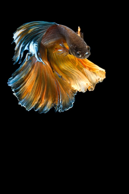 O momento emocionante bonito do peixe betta no preto Foto Premium
