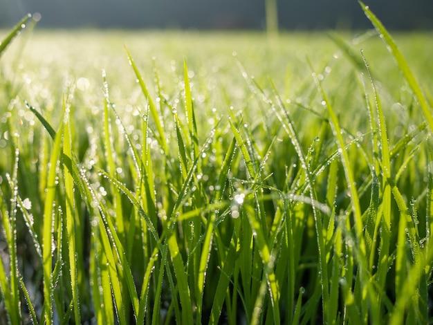O orvalho cai na folha da grama verde pela manhã Foto Premium