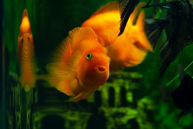 O peixe no aquário olha para a câmera. peixes de aquário chamados Foto Premium