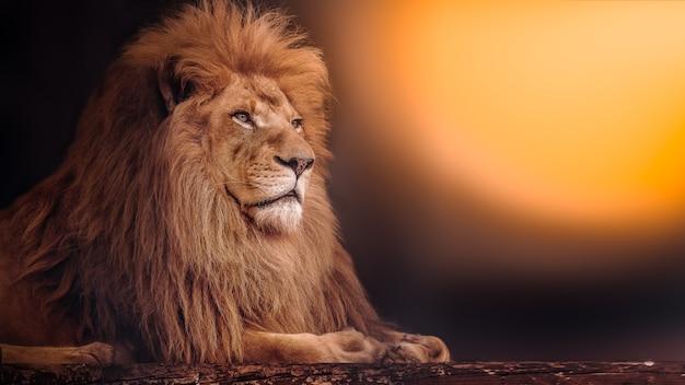 O poderoso leão encontra-se ao pôr do sol Foto Premium