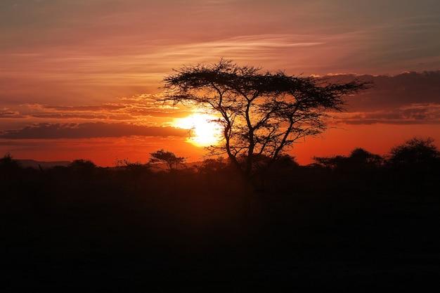O pôr do sol na savana, áfrica. o sol nos galhos de uma acácia. Foto Premium