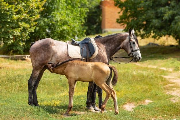 O potro bonito que está com seu cavalo de mãe e está comendo o leite fora. potro fica em um piquete com sua mãe. Foto Premium