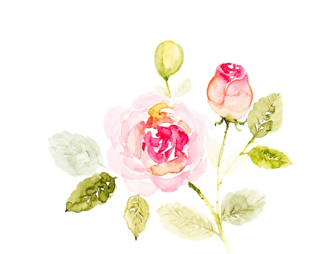 O ramalhete do rosa de rosa floresce a aquarela pintado à mão no branco. Foto Premium