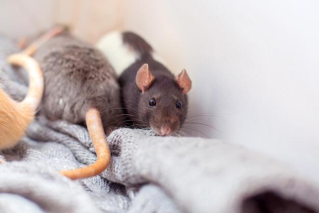 O rato decorativo doméstico abafado em um suéter cinzento tricotado e aquece-se. Foto Premium