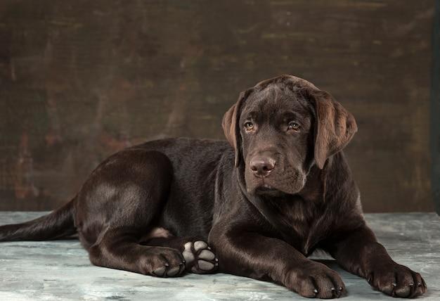 O retrato de um cão preto de labrador tomado contra um fundo escuro. Foto gratuita