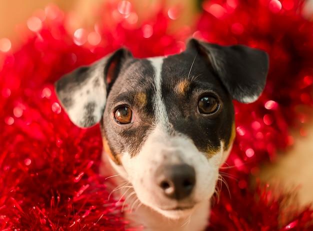 O terrier bonito de russell do jaque no ouropel vermelho olha surpreendido. ano novo. natal Foto Premium