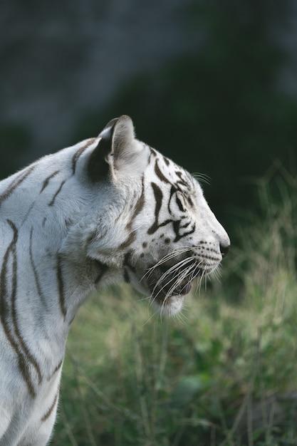 O tigre branco no zoológico está esperando a equipe alimentar. Foto Premium