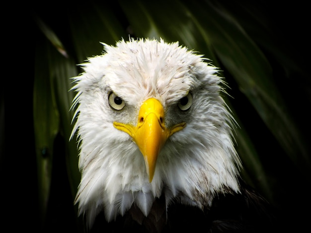 Olhar de águia Foto Premium