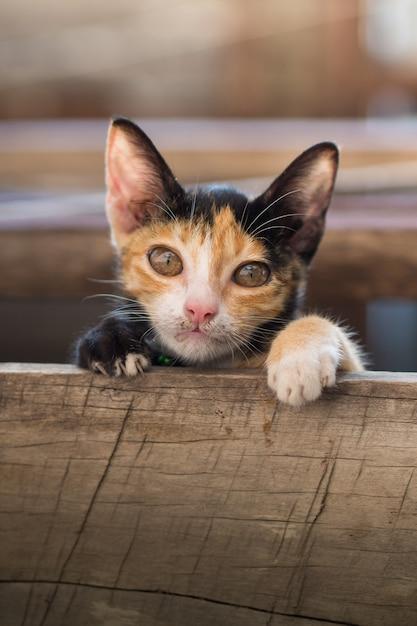 Olhar de gato gatinho para câmera Foto Premium