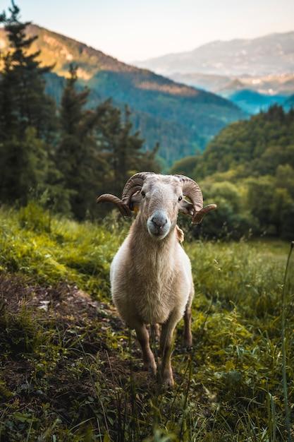 Olhe uma cabra com chifres na subida ao monte adarra em urnieta, perto de san sebastian. guipúscoa, país basco. foto vertical Foto Premium