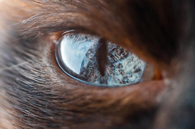 Olho bonito de macro de gato siamês doméstico Foto Premium