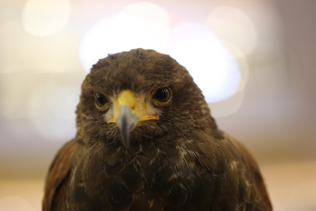 Olho de águia marrom Foto Premium