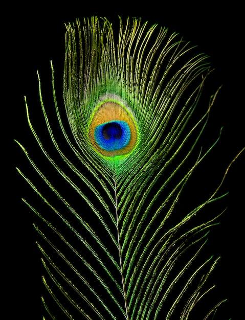 Olho de pavão. pena do pavão isolada no fundo preto. Foto Premium